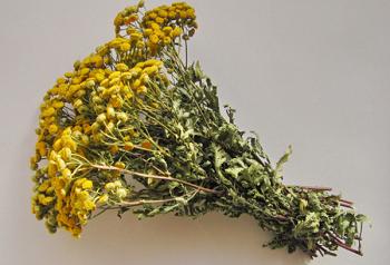 Использование цветов пижмы в лечебных целях в рамках народной медицины