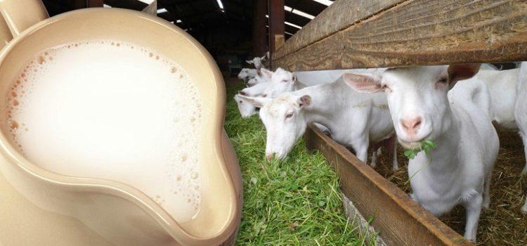 Польза и вред козьего молока для здоровья пожилых - основные моменты