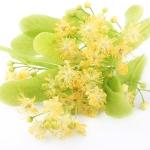Каковы полезные свойства цветов липы?