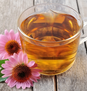 Эхинацея: лечебные свойства и противопоказания, химический состав травы