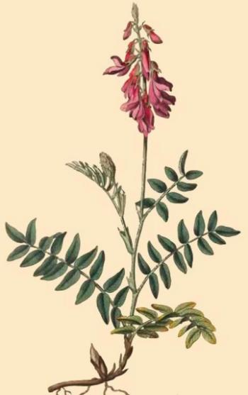 Красный корень: лечебные свойства и противопоказания, советы по выбору, сбору и хранению сырья