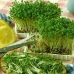 В чем заключается польза и вред кресс-салата?