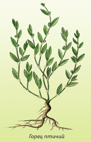 Спорыш или горец птичий: полезные свойства и противопоказания, советы по выбору и заготовке травы