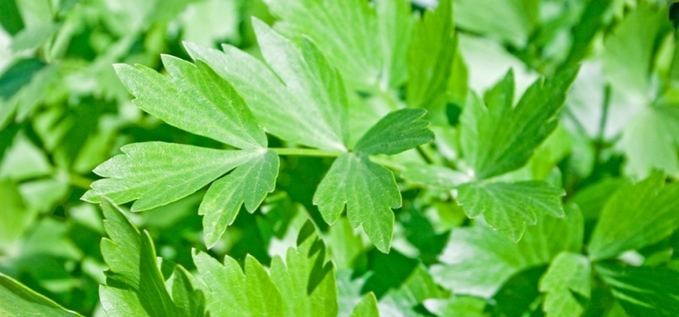Любисток: полезные и лечебные свойства и противопоказания, области применения травы