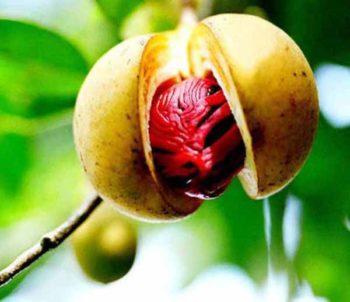 Химический состав мускатного ореха
