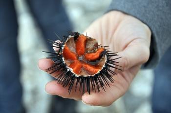 Морской еж и его икра: полезные свойства для взрослых мужчин и женщин