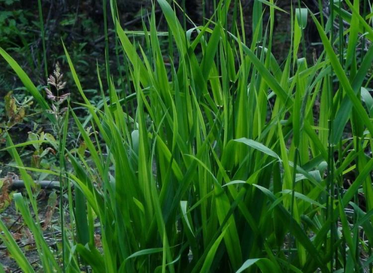 Пырей ползучий - лечебные свойства растения и противопоказания к использованию